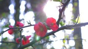 Τα ιαπωνικά λουλούδια κυδωνιών, κλείνουν - επάνω έντονο φως ήλιων r απόθεμα βίντεο