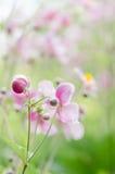 Τα ιαπωνικά λουλούδια Anemone στον κήπο, κλείνουν επάνω Σημείωση: Ρηχός Στοκ Φωτογραφία