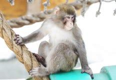 Τα ιαπωνικά macaques Στοκ Εικόνες