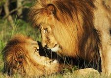Τα λιοντάρια αδελφών Στοκ Φωτογραφία