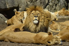 Τα λιοντάρια κάνουν ηλιοθεραπεία Στοκ Εικόνες