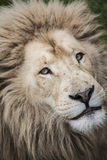Τα λιοντάρια κοιτάζουν επίμονα επάνω κοντά Στοκ φωτογραφία με δικαίωμα ελεύθερης χρήσης