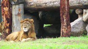 Τα λιοντάρια απόθεμα βίντεο