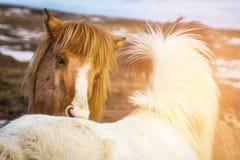 Τα ισλανδικά άλογα κλείνουν επάνω στο επικεφαλής ζώο αγροκτημάτων στοκ εικόνες