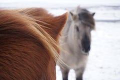 Τα ισλανδικά άλογα Στοκ εικόνα με δικαίωμα ελεύθερης χρήσης