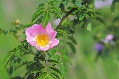 Τα ισχία αυξήθηκαν λουλούδι στον ήλιο Ένα μπλε λουλούδι στα σταγονίδια της δροσιάς σε ένα θολωμένο πράσινο υπόβαθρο Εγκαταστάσεις στοκ εικόνες με δικαίωμα ελεύθερης χρήσης