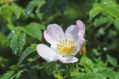 Τα ισχία αυξήθηκαν λουλούδι στον ήλιο Ένα μπλε λουλούδι στα σταγονίδια της δροσιάς σε ένα θολωμένο πράσινο υπόβαθρο Εγκαταστάσεις στοκ εικόνα με δικαίωμα ελεύθερης χρήσης