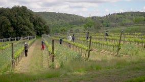 Τα ιταλικά άτομα εργάζονται στη φυτεία σταφυλιών στη θερινή ημέρα, φροντίζουν και επεξεργάζονται τα δέντρα για την καλή συγκομιδή φιλμ μικρού μήκους