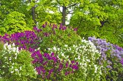 Τα ιώδη θερινά φύλλα πάρκων θάμνων ανθίζουν τη δασική ομορφιά δέντρων Στοκ Εικόνες
