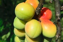 Τα κίτρινα δαμάσκηνα ωριμάζουν στο δέντρο στην επαρχία στοκ φωτογραφία