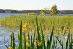 Τα κίτρινα λουλούδια ίριδων είναι ανθίζοντας από τη λίμνη στοκ εικόνες