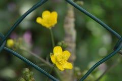 Τα κίτρινα λουλούδια, μεταξύ του πλέγματος στοκ εικόνες
