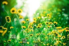 Τα κίτρινα λουλούδια τομέων, διαφορετικός τομέας ανθίζουν έξω, υπόβαθρο λουλουδιών, όμορφα χρώματα στοκ φωτογραφία