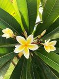 Τα κίτρινα λουλούδια του Καίρου, Αίγυπτος σε πράσινο βγάζουν φύλλα στοκ φωτογραφία