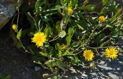 Τα κίτρινα λουλούδια στοκ εικόνες με δικαίωμα ελεύθερης χρήσης