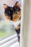 Τα κίτρινα μάτια ταρταρουγών γατών κοιτάζουν επίμονα το παράθυρο Στοκ Φωτογραφίες
