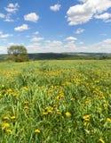 Τα κίτρινα λουλούδια πικραλίδων ταλαντεύονται στο αεράκι στους τομείς με τους λόφους στην απόσταση και το μπλε ουρανό ανωτέρω Στοκ Φωτογραφία