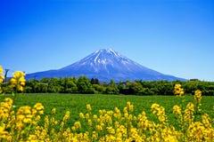 Τα κίτρινα λουλούδια & τοποθετούν το Φούτζι Στοκ Εικόνα