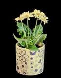 Τα κίτρινα λουλούδια Gerbera, πράσινα φύλλα, βάζο, flowerpot, κλείνουν επάνω, απομονωμένος Asteraceae (οικογένεια μαργαριτών) Στοκ φωτογραφίες με δικαίωμα ελεύθερης χρήσης