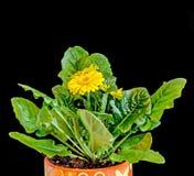 Τα κίτρινα λουλούδια Gerbera, πράσινα φύλλα, βάζο, flowerpot, κλείνουν επάνω, απομονωμένος Asteraceae (οικογένεια μαργαριτών) Στοκ φωτογραφία με δικαίωμα ελεύθερης χρήσης