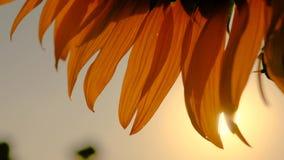 Τα κίτρινα πέταλα ηλίανθων στο ηλιοβασίλεμα κλείνουν επάνω απόθεμα βίντεο