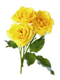Τα κίτρινα τριαντάφυλλα, απομονώνουν Στοκ Εικόνες