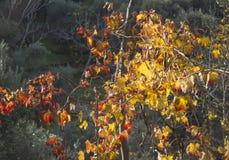 Τα κίτρινα φύλλα λάμπουν στο χρόνο ηλιοβασιλέματος Στοκ Φωτογραφίες
