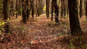Τα κίτρινα φύλλα σημύδων στον ήλιο ταλαντεύονται στον αέρα απόθεμα βίντεο