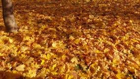 Τα κίτρινα φύλλα σφενδάμου βρίσκονται στη γη απόθεμα βίντεο