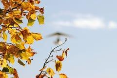 Τα κίτρινα φύλλα σφενδάμου και θολωμένος μηχανοποιημένος κρεμούν το ανεμοπλάνο στοκ εικόνα