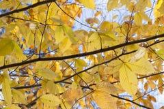 Τα κίτρινα φύλλα κλείνουν επάνω ενάντια στον ουρανό Στοκ εικόνα με δικαίωμα ελεύθερης χρήσης