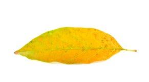 Τα κίτρινα φύλλα ξεραίνουν το καλοκαίρι Στοκ Φωτογραφίες
