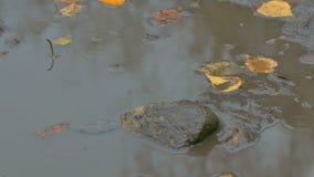 Τα κίτρινα φύλλα που επιπλέουν σε μια λίμνη είναι ένα τούβλο πετρών φιλμ μικρού μήκους