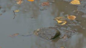 Τα κίτρινα φύλλα που επιπλέουν στη λίμνη είναι ένα τούβλο πετρών φιλμ μικρού μήκους