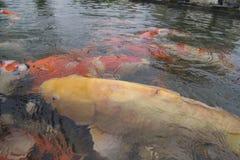 Τα κίτρινα ψάρια koi κολυμπούν στην επιφάνεια της λίμνης στοκ εικόνες