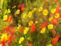 Τα κίτρινα floers μαργαριτών Coreopsis με τα θολωμένα κόκκινα λουλούδια κατά μήκος μιας παγόδας παγκόσμιας ειρήνης καλλιεργούν στοκ φωτογραφία με δικαίωμα ελεύθερης χρήσης