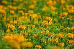 Τα κίτρινα marigold λουλούδια στον κήπο, αφαιρούν μαλακό θολωμένο και Στοκ Φωτογραφίες