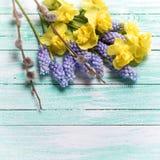 Τα κίτρινες και μπλε λουλούδια άνοιξη και η ιτιά γατών στο τυρκουάζ επιζητούν Στοκ Φωτογραφίες