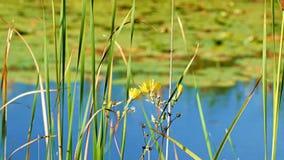 Τα κίτρινοι λουλούδια και ο κρίνος γεμίζουν να επιπλεύσουν στο νερό στην ακτή της λίμνης σε βόρεια Μινεσότα φιλμ μικρού μήκους