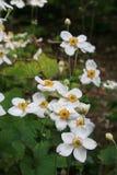 Τα καθαρά άσπρα anemonies με τα χρυσά και πράσινα κέντρα αυξάνονται στο πράσινο φύλλωμα σε μια δασόβια ρύθμιση Στοκ Φωτογραφία
