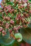 Τα καρύδια των δυτικών ανακαρδίων που αυξάνονται σε ένα δέντρο αυτό το εξαιρετικό καρύδι αυξάνονται έξω από το dapoli φρούτων στοκ εικόνες