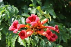 Τα καταπληκτικά φωτεινά κόκκινα λουλούδια άνθισαν σε ένα δέντρο Στοκ Εικόνα