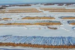 Τα καταρριφθε'ντα δέντρα βρίσκονται κάτω από το ανοιχτό ουρανό Αποδάσωση στη Ρωσία Καταστροφή των δασών στη Σιβηρία Συγκομιδή του Στοκ φωτογραφία με δικαίωμα ελεύθερης χρήσης