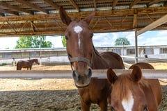 Τα καφετιά άλογα σε μια μάνδρα κλείνουν επάνω στοκ φωτογραφία με δικαίωμα ελεύθερης χρήσης