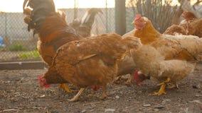 Τα καφετιά κοτόπουλα τρώνε το σιτάρι φιλμ μικρού μήκους