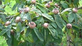 Τα καφετιά ώριμα φρούτα μουσμουλιών και τα πράσινα φύλλα αυξάνονται στο δέντρο Germanica Mespilus, germanica crataegus, μουσμουλι απόθεμα βίντεο