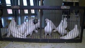 Τα καλά άσπρα περιστέρια σε ένα κλουβί, πουλιά στην αιχμαλωσία, πουλιά κλείνουν επάνω, σχάρα γιατί ευγενής τα περιστέρια, περιστέ απόθεμα βίντεο