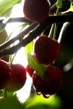 τα κεράσια ξινίζουν Στοκ εικόνες με δικαίωμα ελεύθερης χρήσης