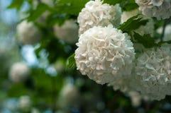 Τα κινεζικά κεφάλια λουλουδιών viburnum χιονιών είναι χιονώδη Στοκ εικόνα με δικαίωμα ελεύθερης χρήσης