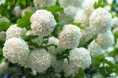 Τα κινεζικά κεφάλια λουλουδιών viburnum χιονιών είναι χιονώδη Στοκ φωτογραφία με δικαίωμα ελεύθερης χρήσης